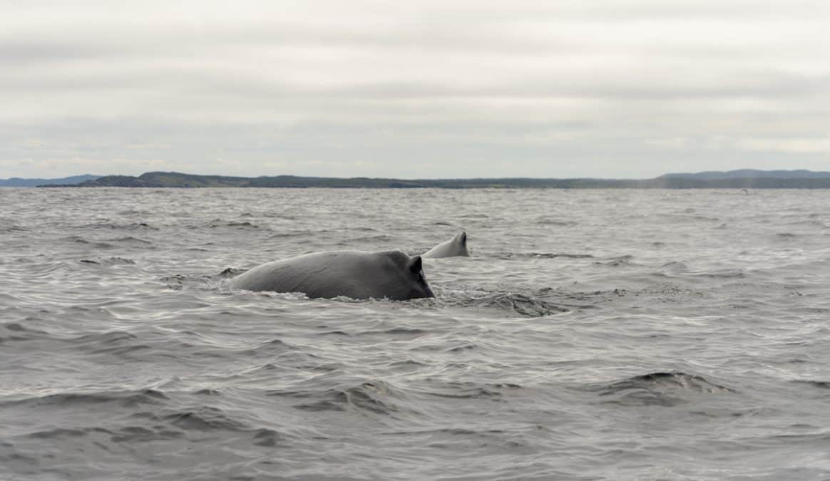 whales in newfoundland