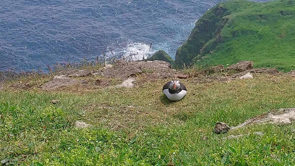puffins on the faroe islands