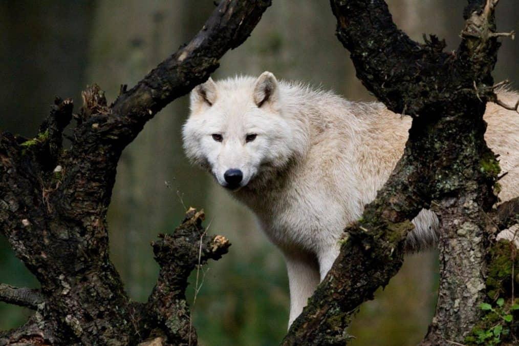 wolfes in washington