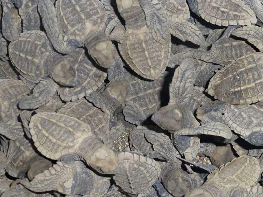sea turtles in costa rica