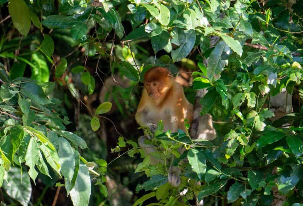 monkey on the kinabatangan river