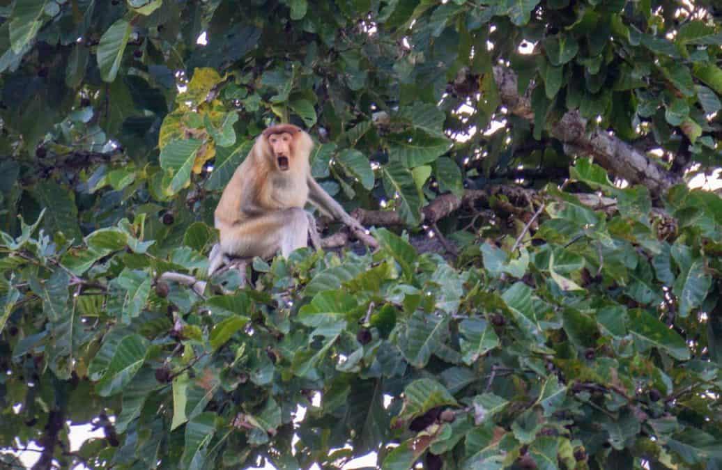 Proboscis monkey on the Kinabatagan river
