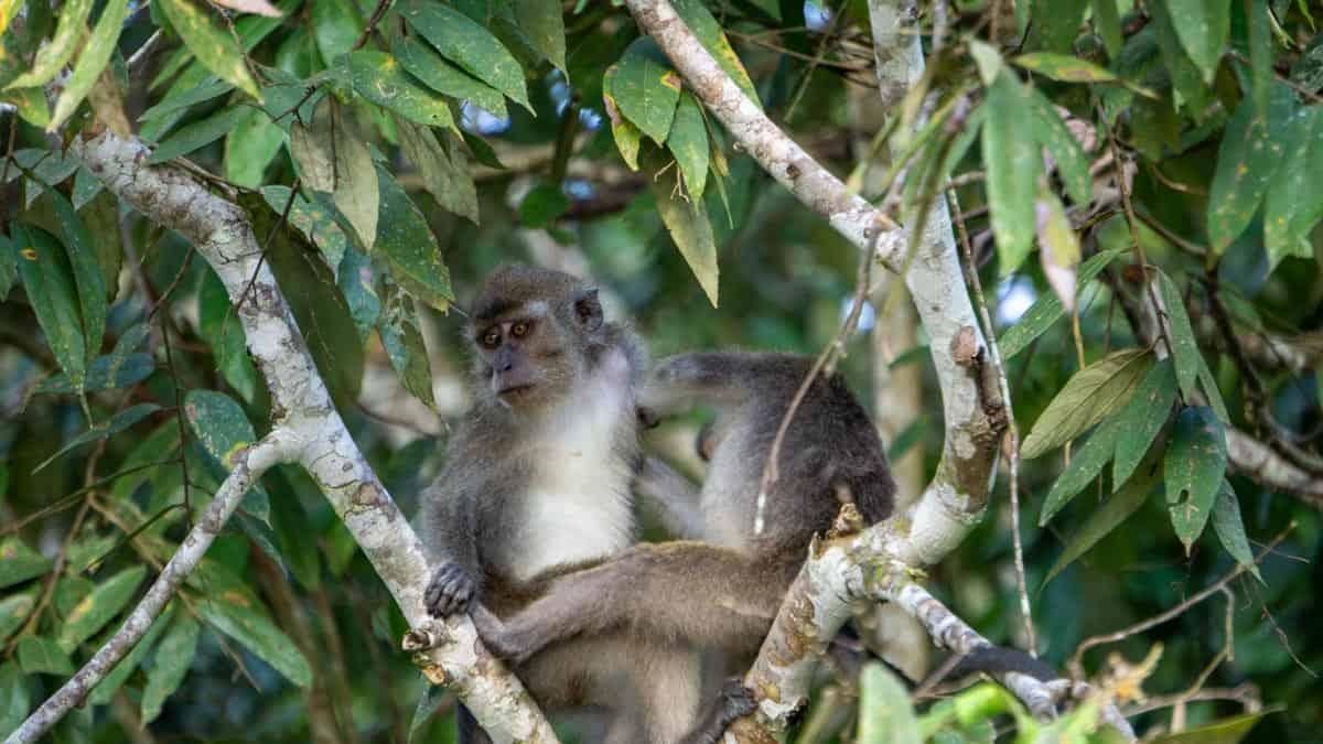 Monkeys on the Kinabatangan River borneo