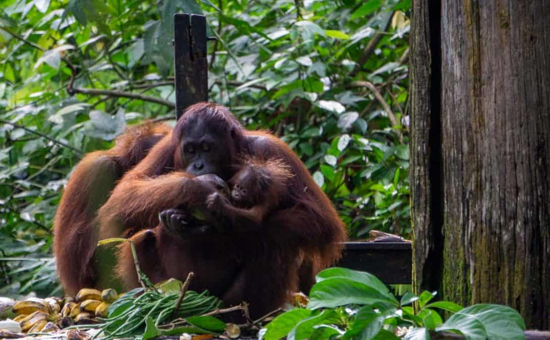 Orangutans at the Sepilok Orangutan Rehabilitation Centre