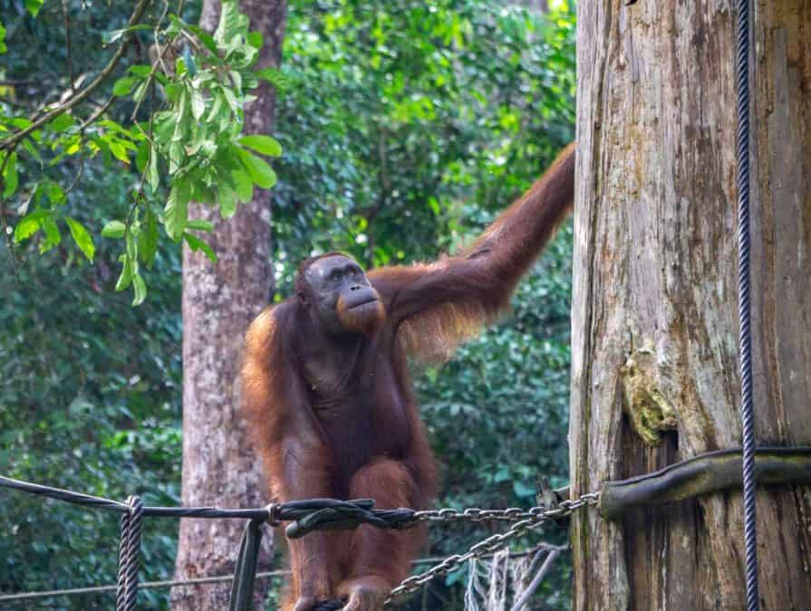Orangutan at the Sepilok Orangutan Rehabilitation Centre