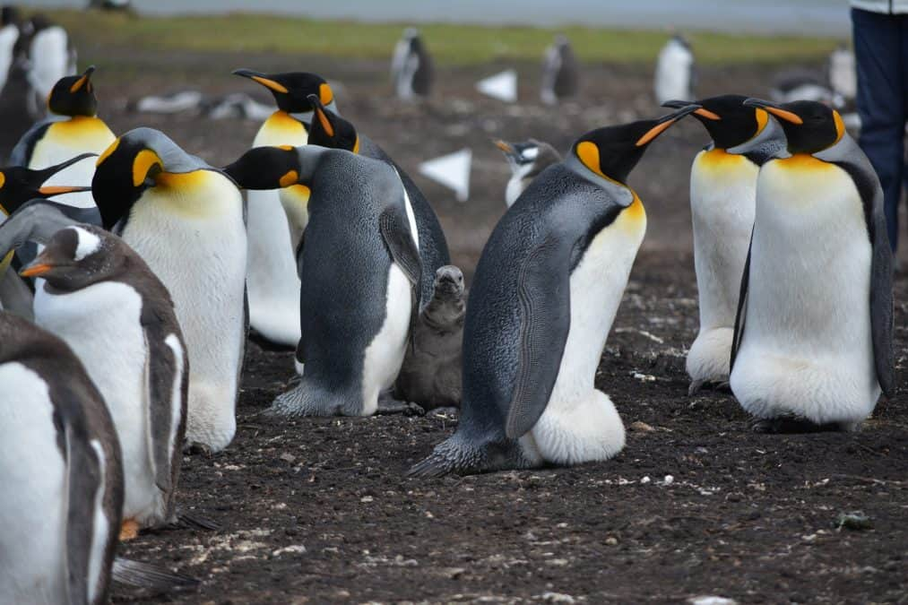 where to see penguins in the wild