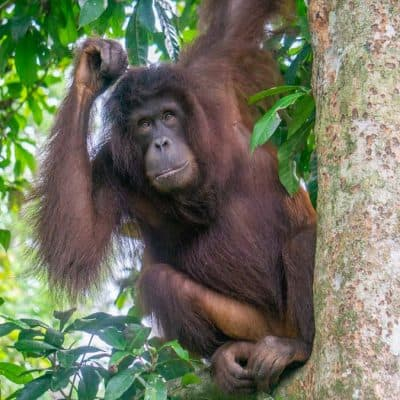 Where to See Orangutans In The Wild Ethically