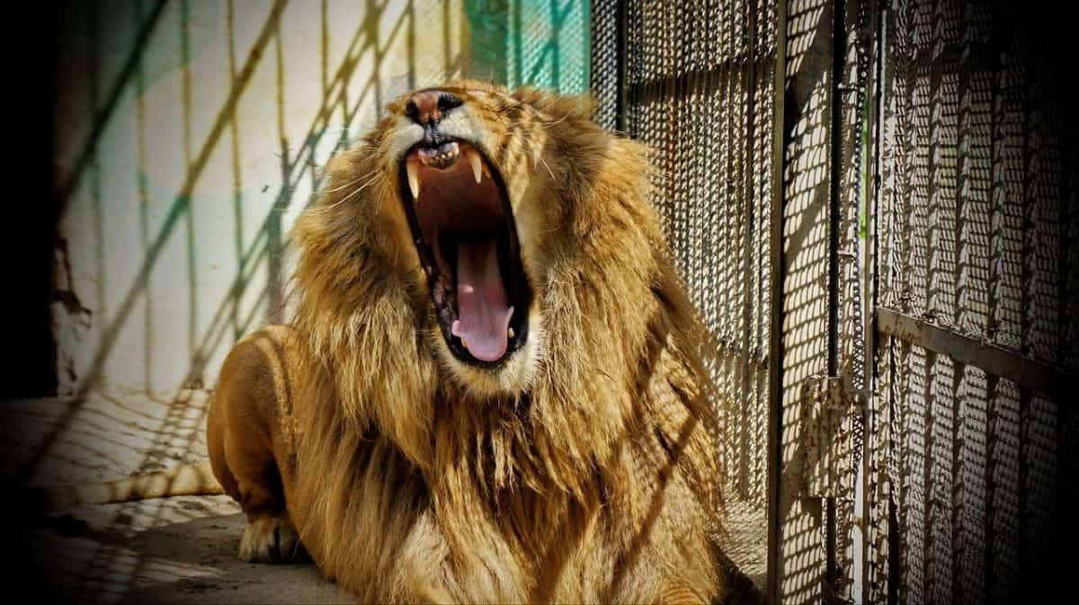 lion in zoo unethical animal tourism