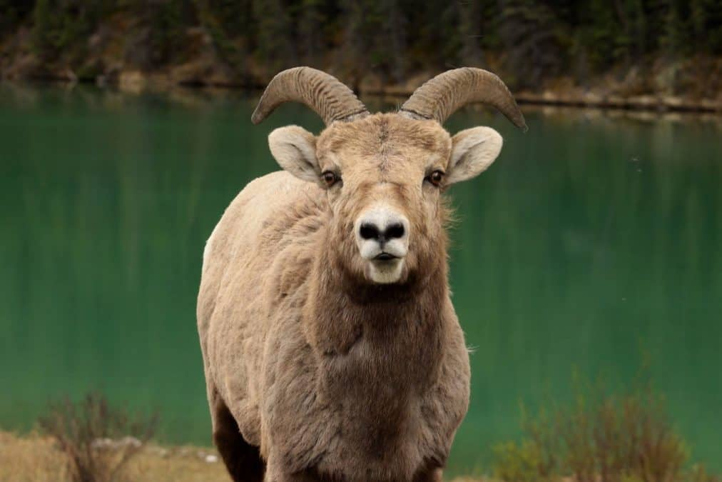 big horn sheep things to do in canmore in winter