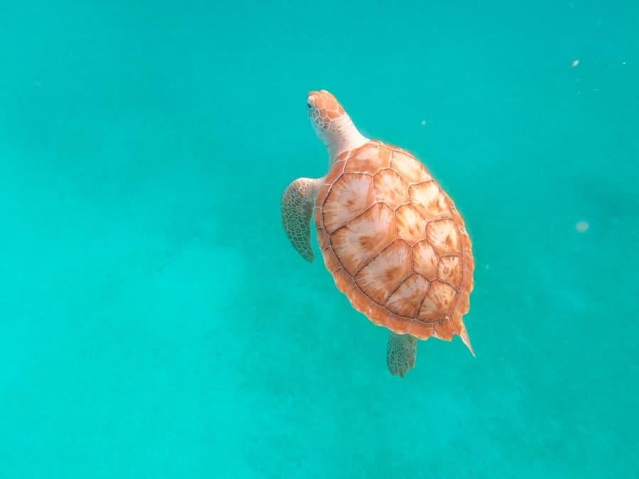 sea turtle living in barbados