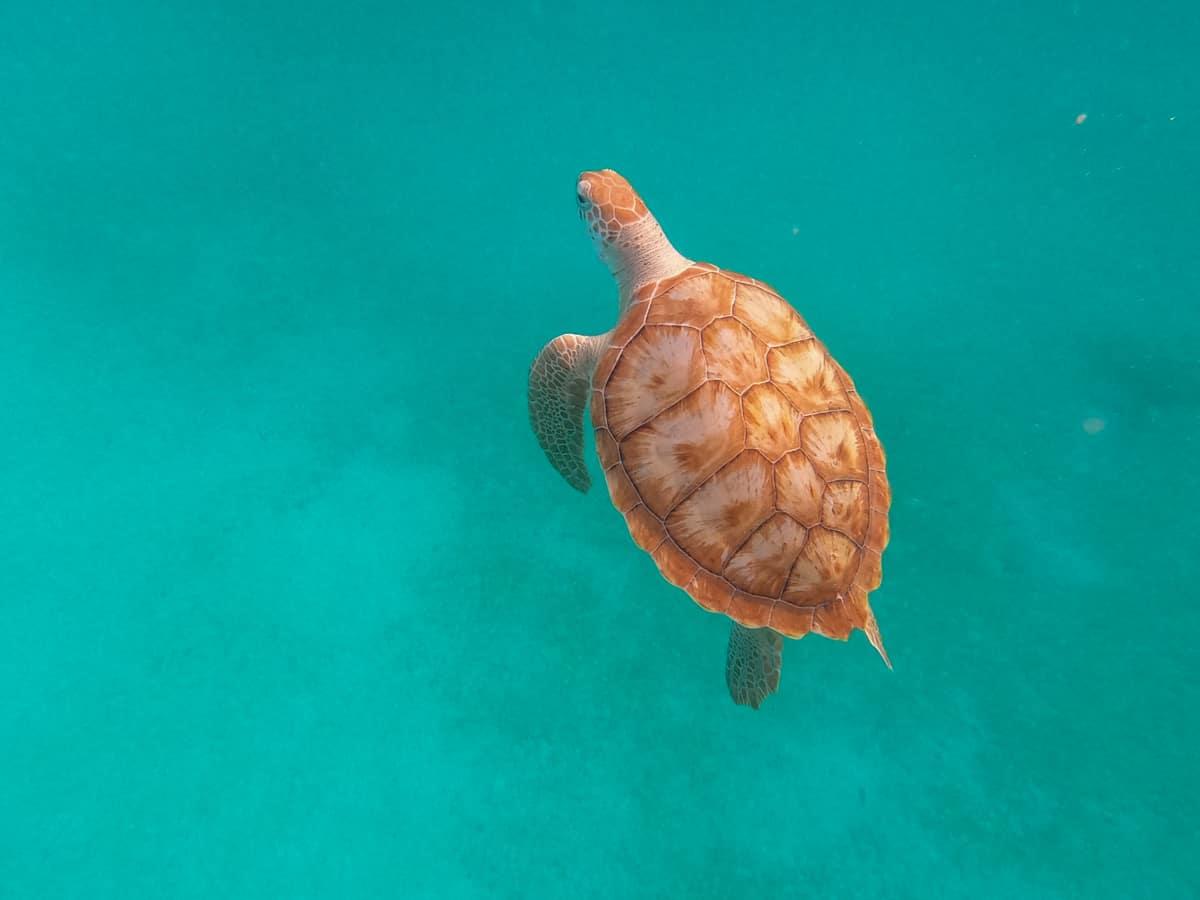 Snorkeling with sea turtles in Barbados