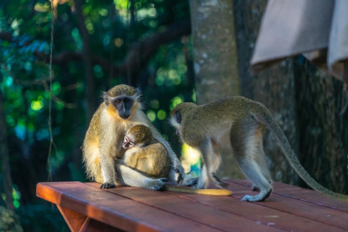 green monkeys in barbados